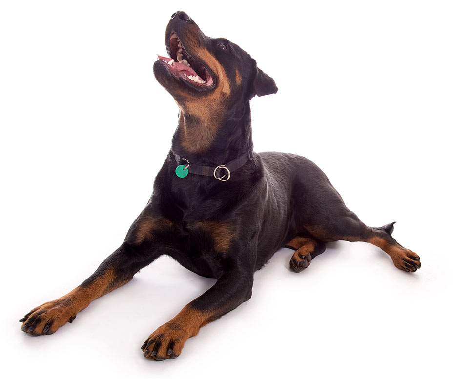 Unneutered Male Dogs